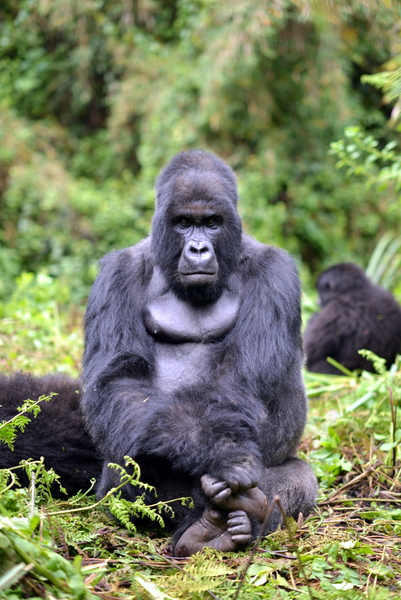 Mountain gorilla at the Volcanoes National Park