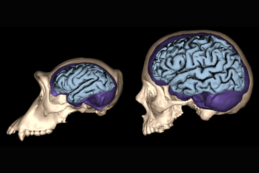 Digital rendering of primate brains in skulls