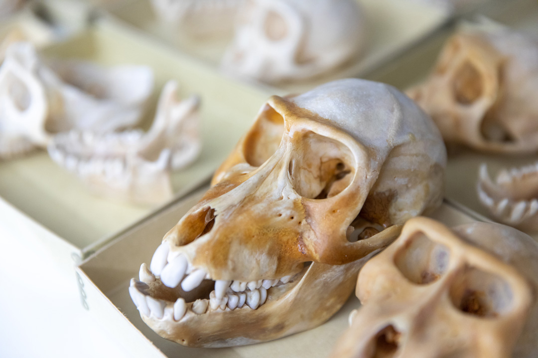 a sample of a hominid skull