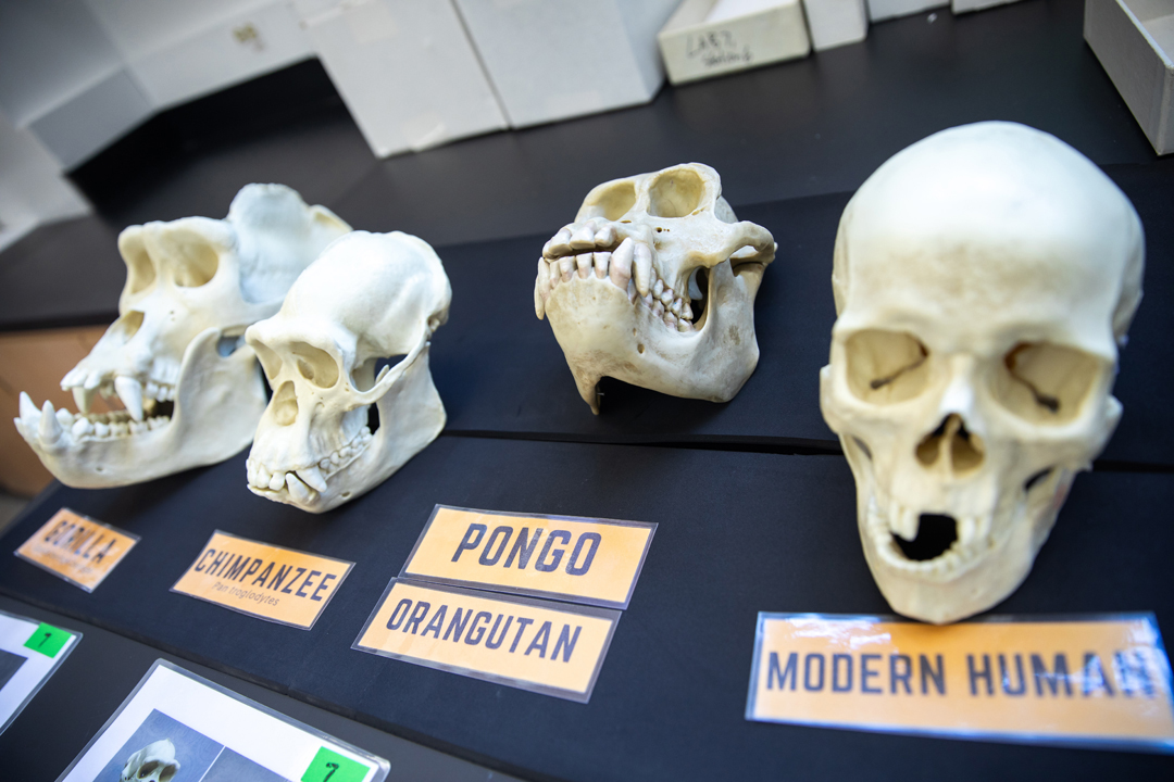 A row of different skull specimens