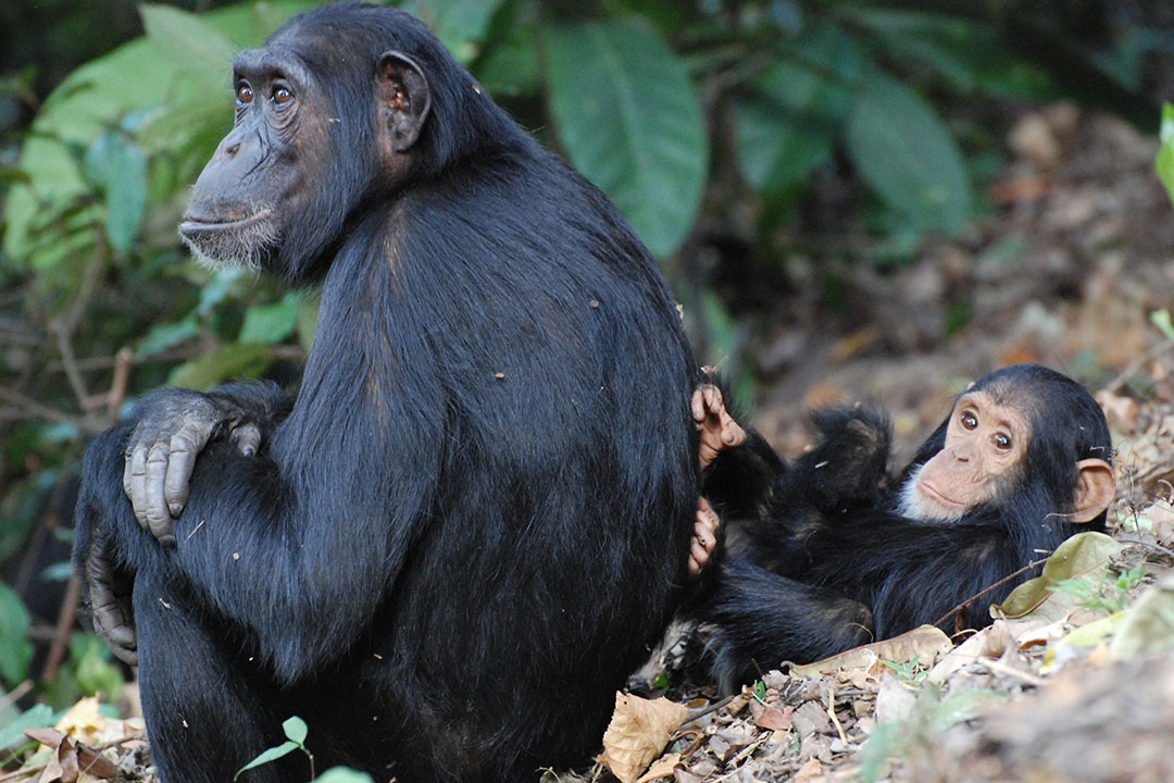 two chimpanzees sitting in a jungle