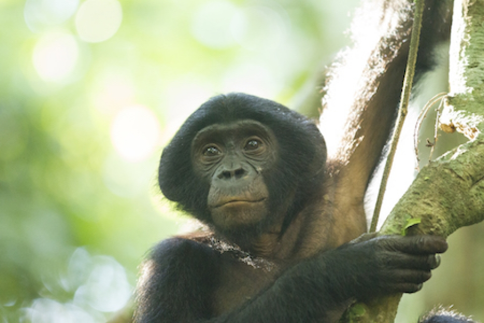 Ulrich, an immature male bonobo studied by LuiKotale Bonobo Project researchers