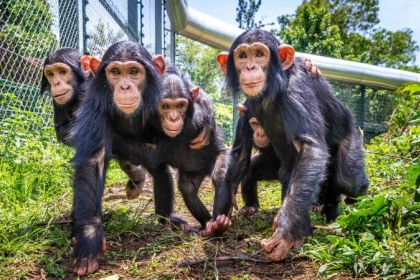 Family of chimpanzees knuckle walking