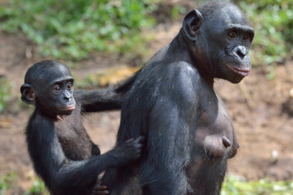 Bonobos. Baby hanging off mother.