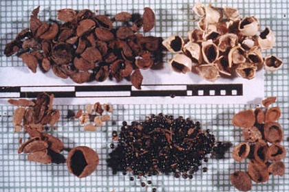 Seeds grouped by size and shape after flotation